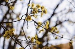 Cornelian cherry Royalty Free Stock Images