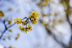 Cornelian cherry Stock Photography