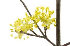 Cornelian Cherry Blossoms Stock Photography