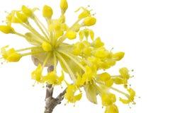 Cornelian Cherry Blossoms Royalty Free Stock Image