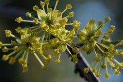 Cornelian cherry Stock Images