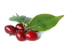 Cornelian cherry (Cornus mas) Stock Image