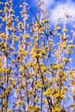Cornelian cherry dogwood blossom in spring. In Germany Royalty Free Stock Photo