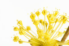 Cornelian cherry flower Stock Images