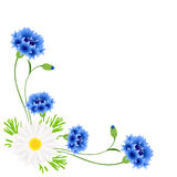 Corner with blue cornflowers and chamomile on a white background. Stock Photo