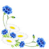 Corner with blue cornflowers and chamomiles on a white background. Royalty Free Stock Photo