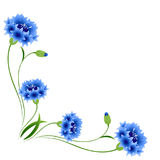 Corner with blue cornflowers on a white background. Stock Photo