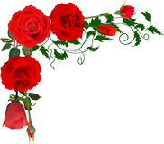 Corner from bright red isolated roses Stock Image