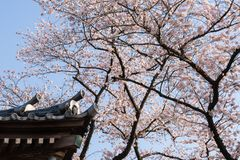 A corner of buddhist temple against cherry blossoms Royalty Free Stock Image