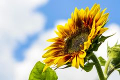 Corner close-up of sunflower leaves on blue sky background Royalty Free Stock Image