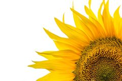 Corner close-up of sunflower leaves on white background Stock Photography