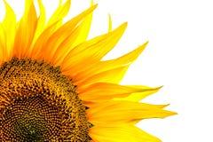 Corner close-up of sunflower leaves on white background Stock Image