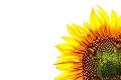 Corner close-up of sunflower leaves on white background Royalty Free Stock Photos
