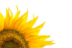 Corner close-up of sunflower leaves on white background Royalty Free Stock Photo