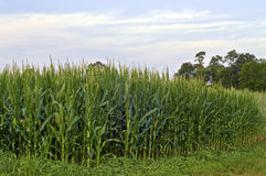 Corner Cornfield Royalty Free Stock Photos