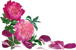 Corner from dark pink peony flowers Royalty Free Stock Photography
