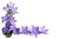 Corner made of Bellflowers. On white background stock photo