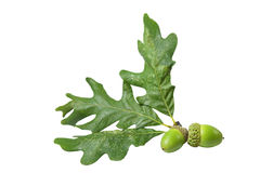 Corner Oak Acorn Stock Image
