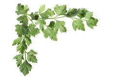 Corner of parsley leaves Stock Photography