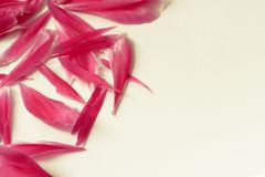Corner of pink peony petals Royalty Free Stock Images