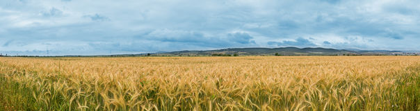 The corner of a wheat field - panorama Royalty Free Stock Photography