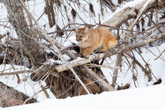 Cornered mountain lion. In defensive position in tree Stock Image