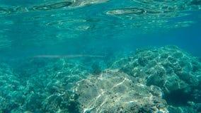 Cornet fish waits for prey at hanauma bay. A cornet fish waits for prey at hanauma bay, hawaii stock photo