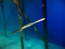 cornetfish Стоковое Изображение