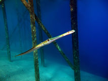 Free Cornetfish Stock Image - 10995571