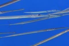 Cornetfish in het blauw Royalty-vrije Stock Afbeeldingen