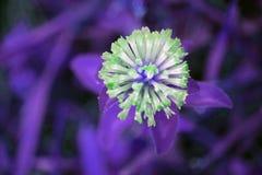 Cornetta ginestrina al neon Fotografia Stock