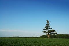cornfield απομονωμένο δέντρο πεύκων στοκ φωτογραφία με δικαίωμα ελεύθερης χρήσης