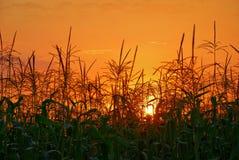 cornfield ηλιοβασίλεμα Στοκ εικόνα με δικαίωμα ελεύθερης χρήσης