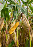 cornfield καλαμποκιού σπαδίκων Στοκ Φωτογραφία