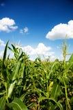 cornfield καλαμποκιού φυτά στοκ εικόνες
