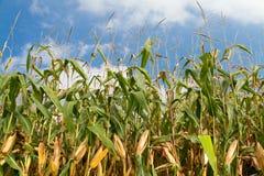 cornfield καλοκαίρι ουρανού Στοκ Εικόνα