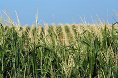 cornfield λοφώδες Στοκ εικόνα με δικαίωμα ελεύθερης χρήσης