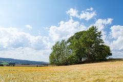 Cornfield με το δέντρο το καλοκαίρι Στοκ Φωτογραφίες