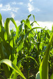 cornfield πράσινο Στοκ φωτογραφία με δικαίωμα ελεύθερης χρήσης