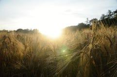 Cornfield στο ηλιοβασίλεμα Στοκ Εικόνα