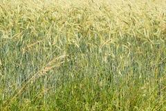 Cornfield στο καλοκαίρι Στοκ εικόνες με δικαίωμα ελεύθερης χρήσης