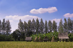cornfield τοπίο με τον μπλε νεφελώδη ουρανό Στοκ Εικόνες