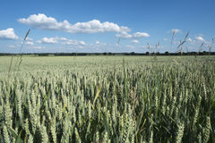 Cornfield το καλοκαίρι με το μπλε ουρανό και τα σύννεφα Στοκ Φωτογραφίες