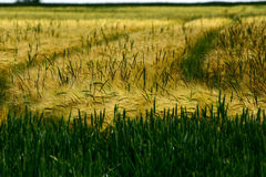 Cornfield #1. A cornfield in Germany. Sommer time Royalty Free Stock Images