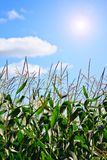 Cornfield 1 Royalty Free Stock Image