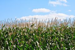 Cornfield 1 Royalty Free Stock Photos