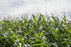 cornfield Lizenzfreie Stockfotografie