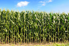 Cornfield. During sunny day with blue sky and clouds royalty free stock image