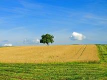 cornfield Arkivbilder
