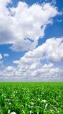 Cornfield. Cornfield and blue sky with white clouds royalty free stock photos